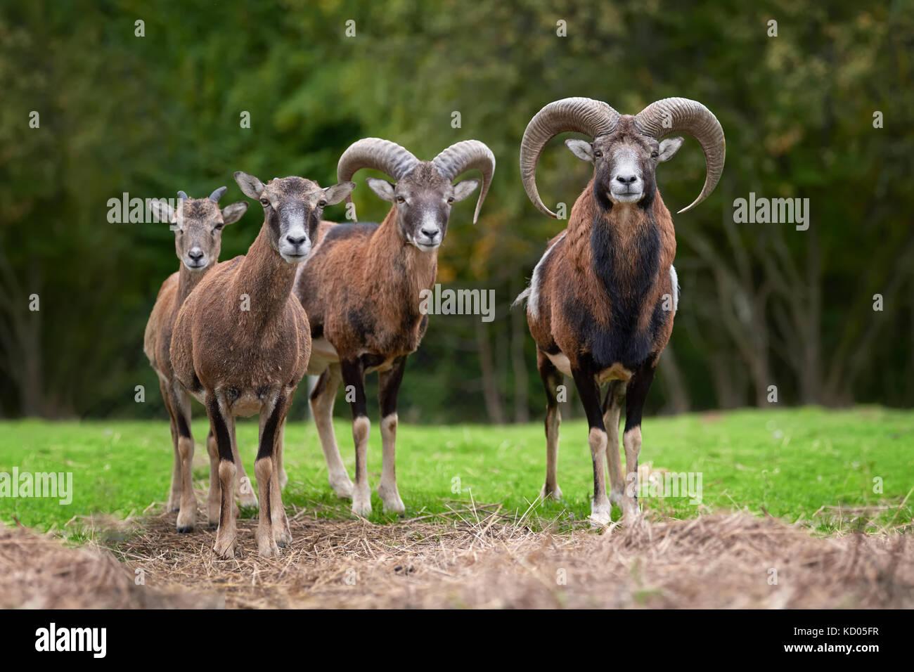 Dans le mouflon européen grand habitat nature Photo Stock
