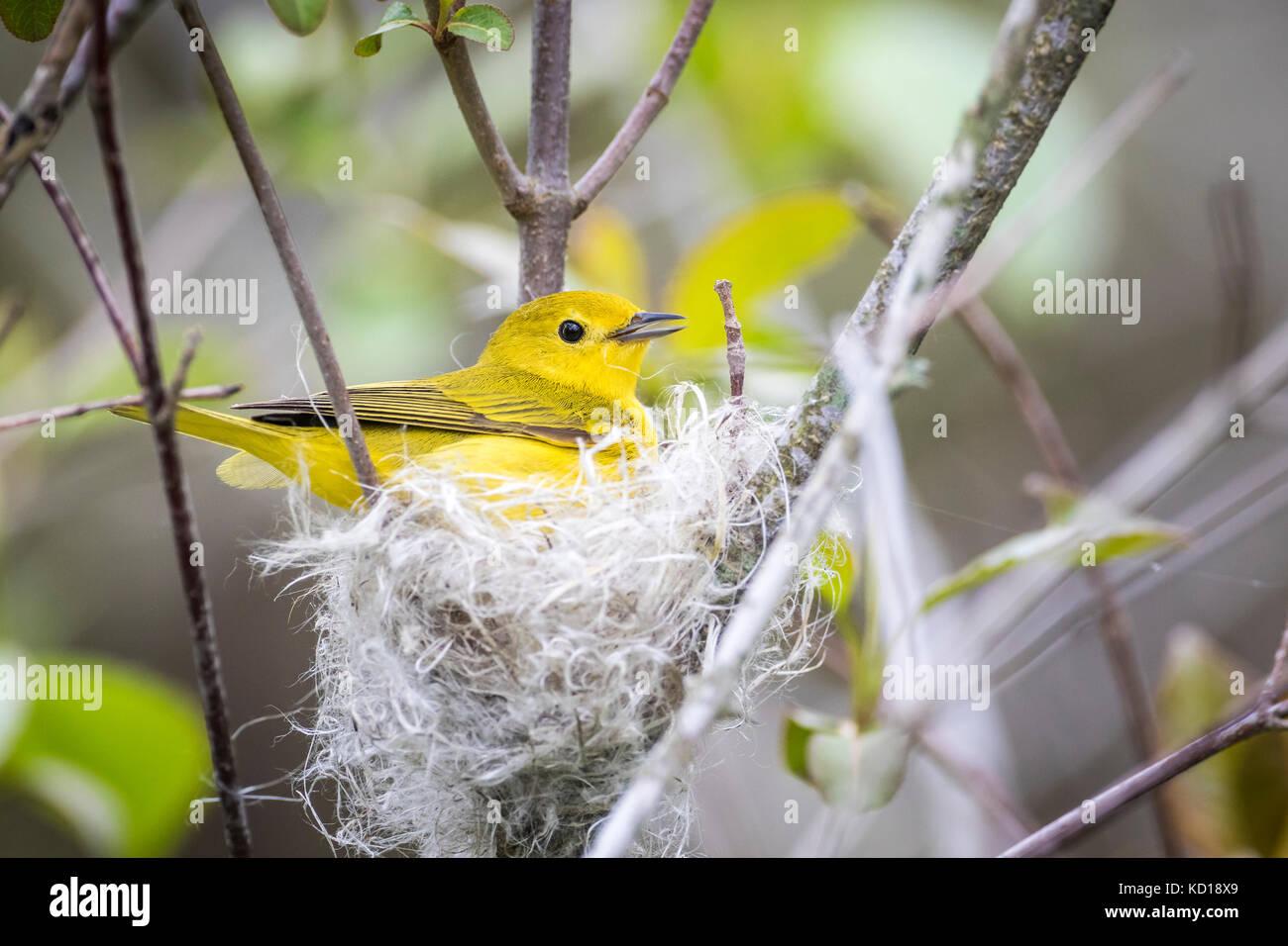 Femme paruline jaune (setophaga petechia) construction d'un nid de fluffy de fibres végétales et de Photo Stock