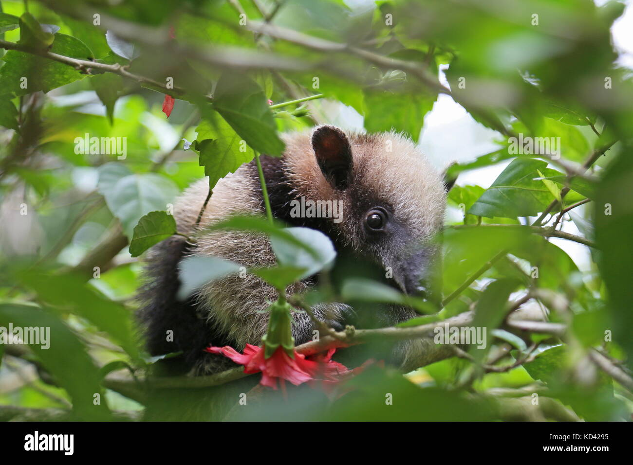 Du Nord bébé Tamandua (Tamandua mexicana), Jaguar Rescue Center, Punta Cocles, Puerto Viejo de Talamanca, Photo Stock