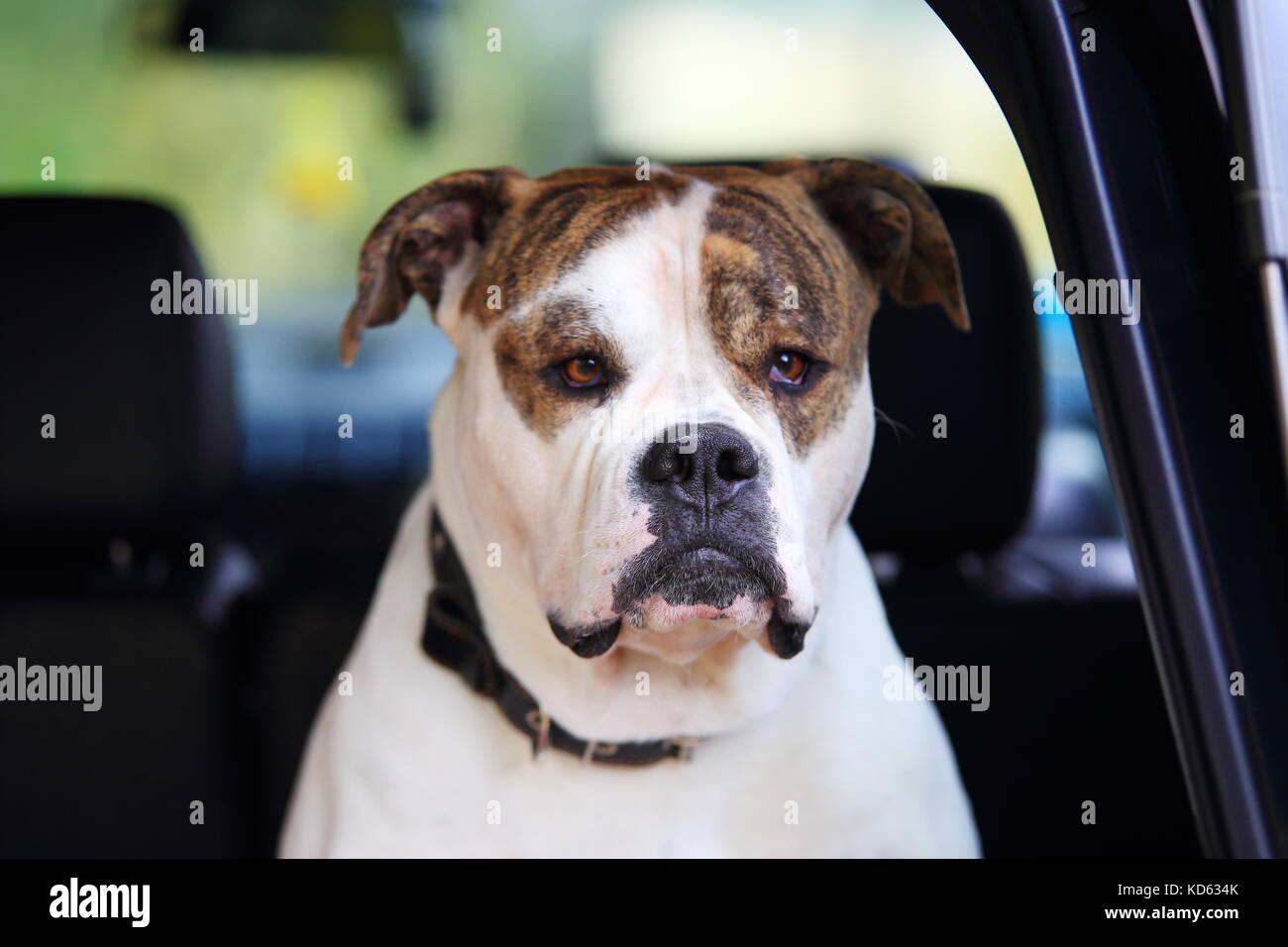 American Bulldog dans grave voiture. tête de bouledogue américain blanc close-up. Banque D'Images