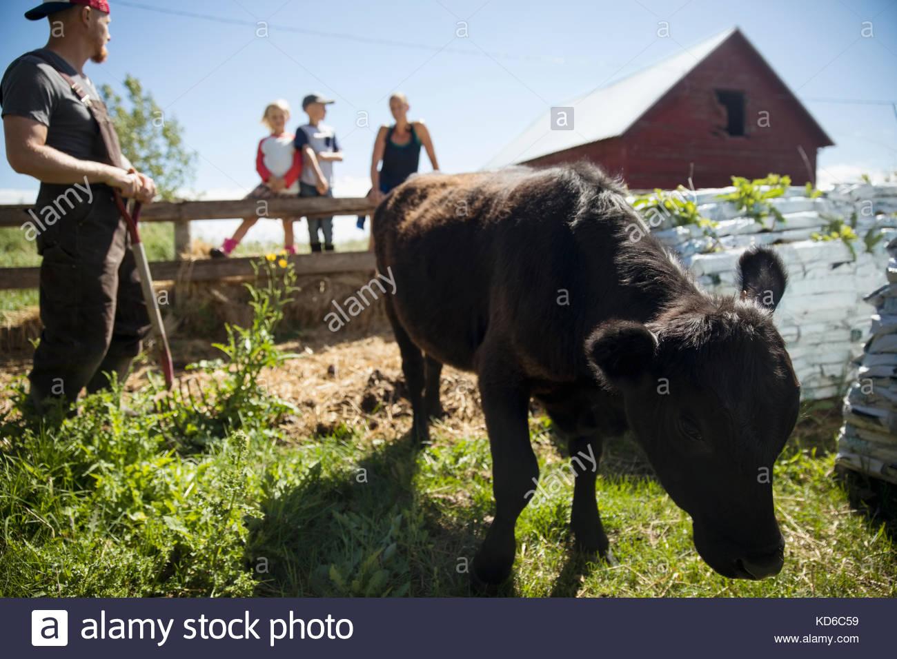Les agriculteurs de la famille vache regardant brouter sur sunny farm Photo Stock