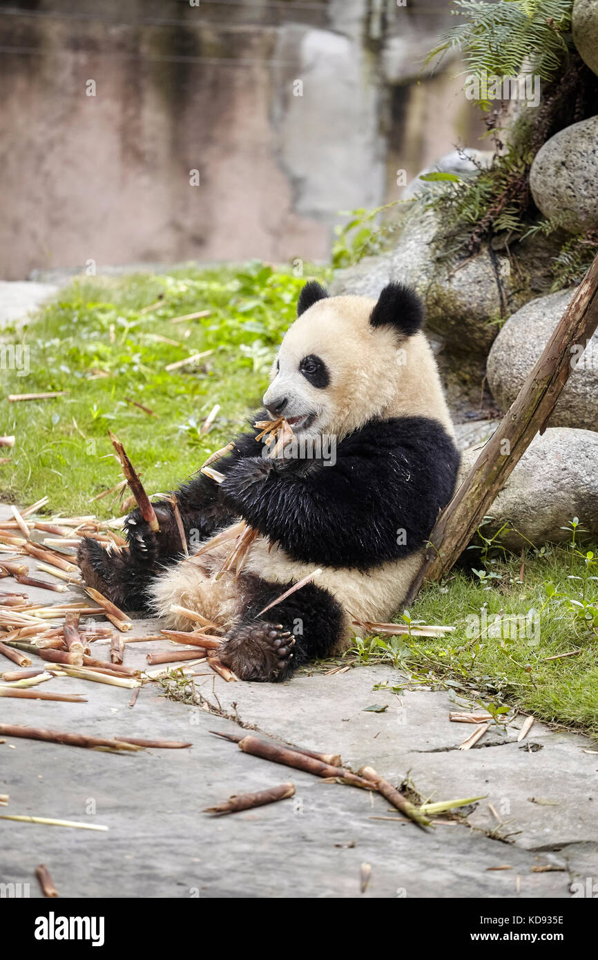 Grand panda mange du bambou, Chengdu, Chine. Photo Stock