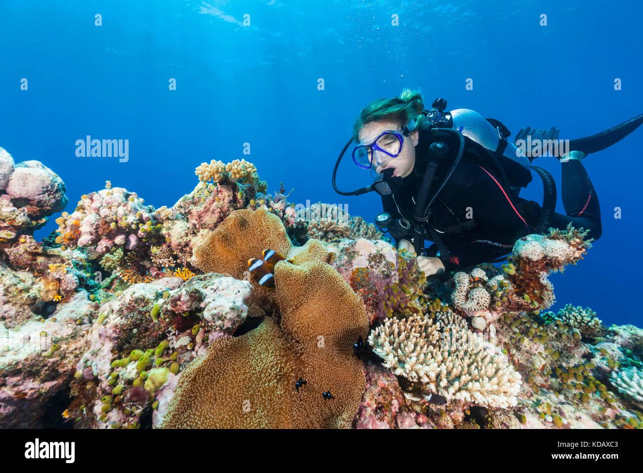 Plongeur femelle à la recherche au poisson clown à St Crispin Reef, Great Barrier Reef Marine Park, Port Photo Stock