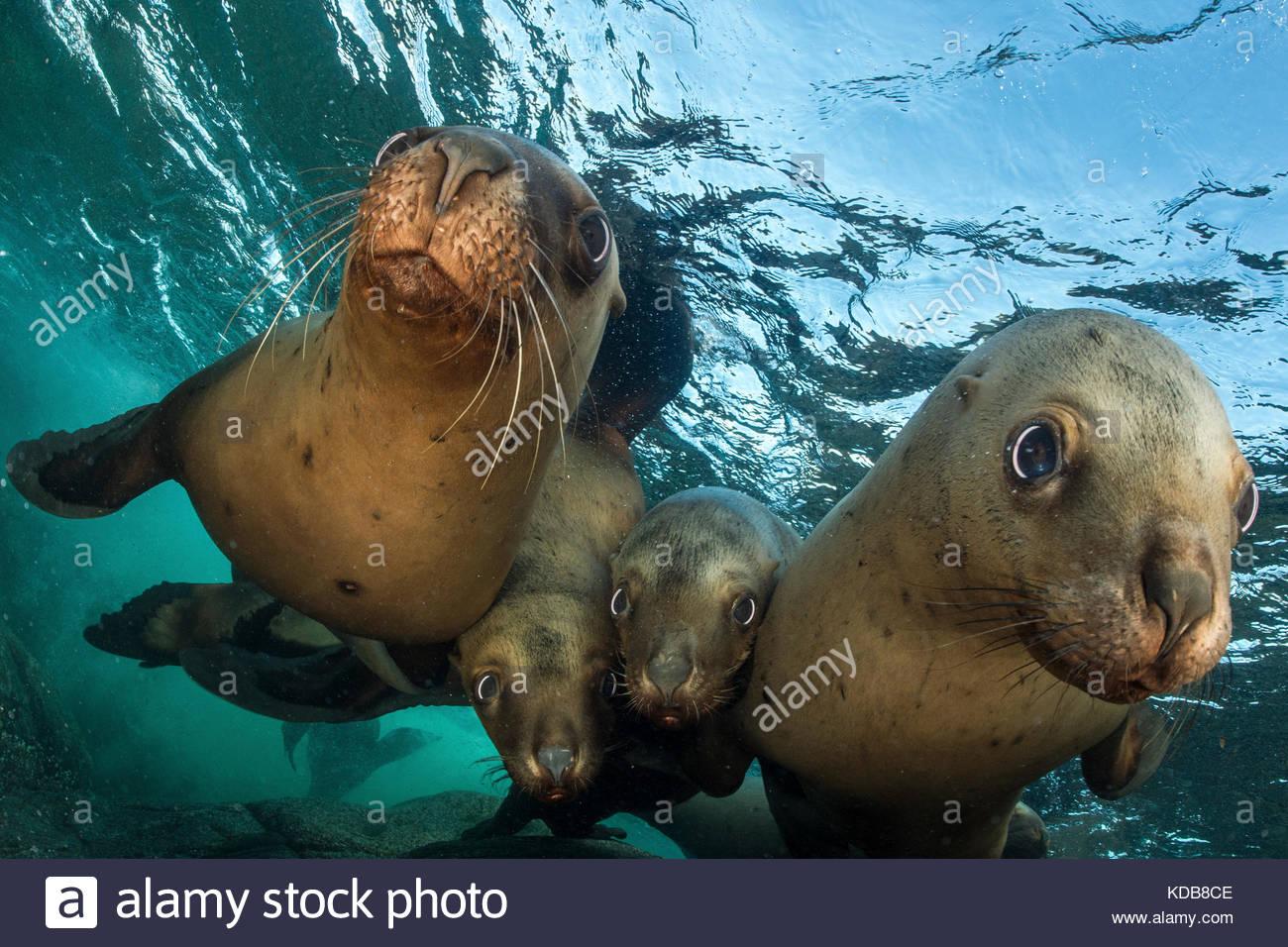 Près d'un groupe d'adolescent, les lions de mer de Steller Eumetopias jubatus. Photo Stock