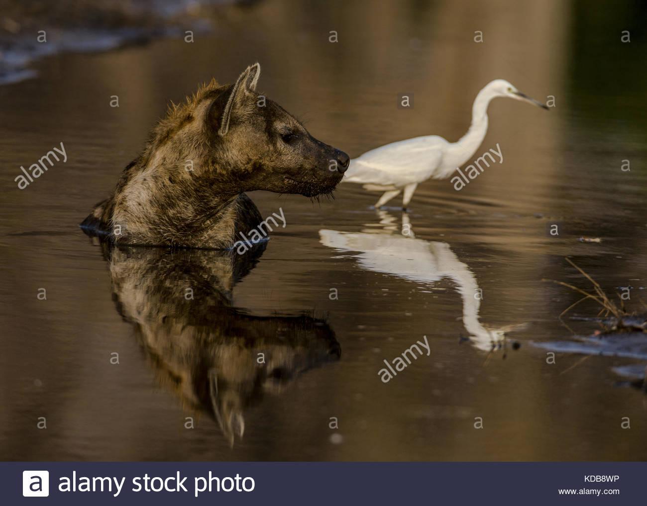 Une hyène tachetée, Crocuta crocuta, réside dans une petite piscine d'eau de refroidir dans le Photo Stock