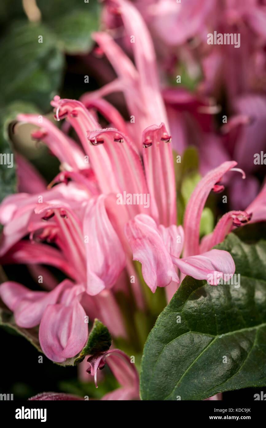 L'univers coloré et beau brazillian plume fleur dans un arboretum. Photo Stock