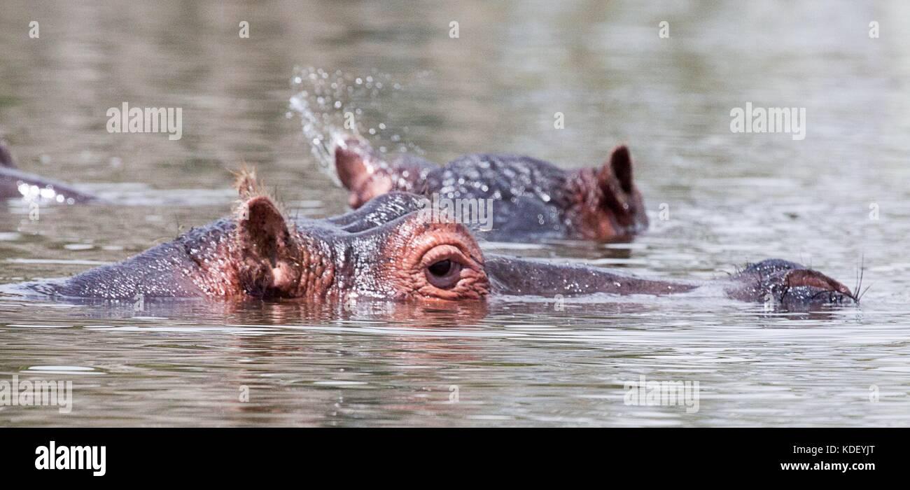 Hippopotame (Hippopotamus amphibius) les têtes à la surface au-dessus de l'eau au lac Naivasha, Kenya Banque D'Images