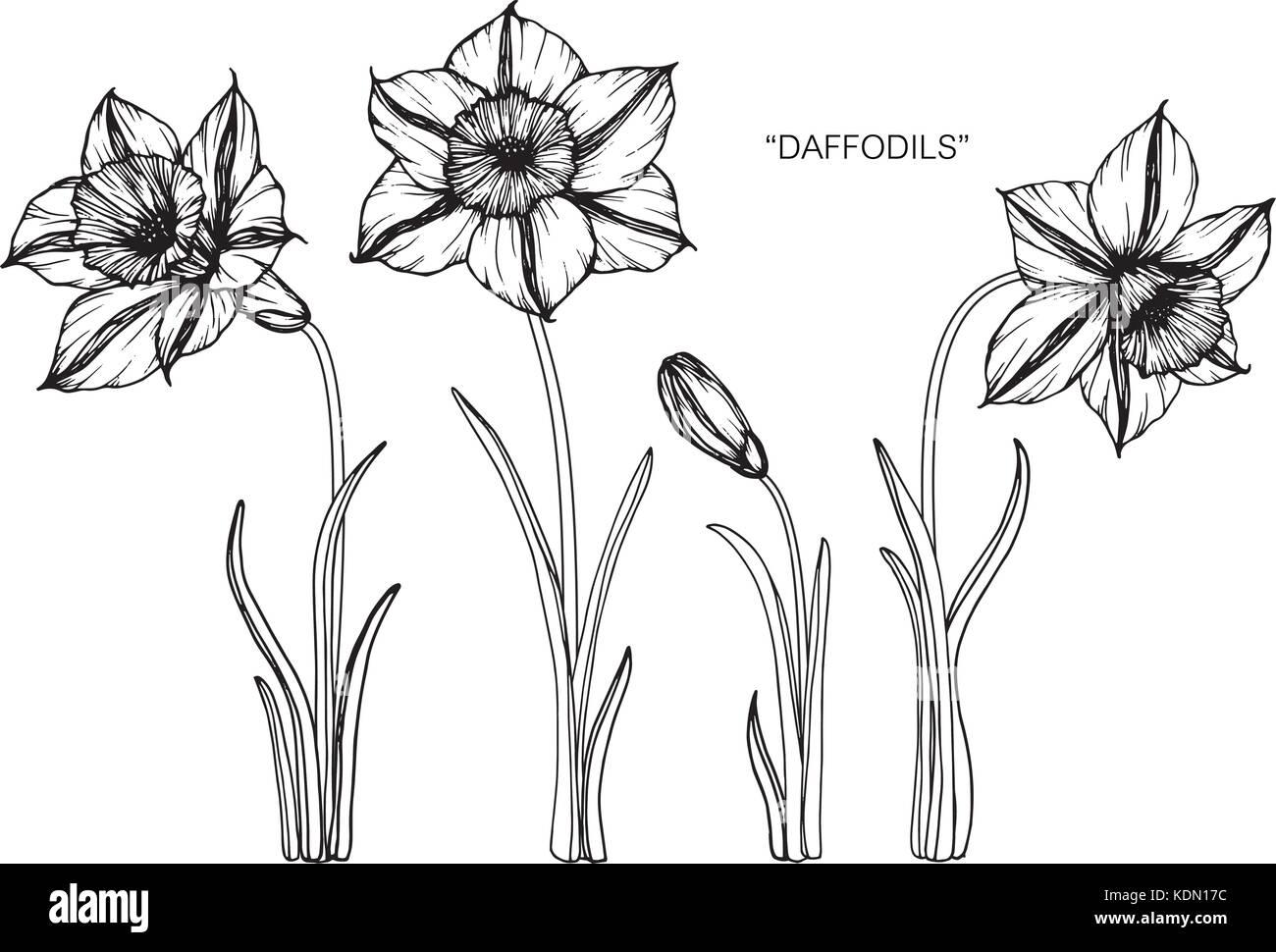 Dessin Fleur Jonquille Illustration Noir Et Blanc Avec Des