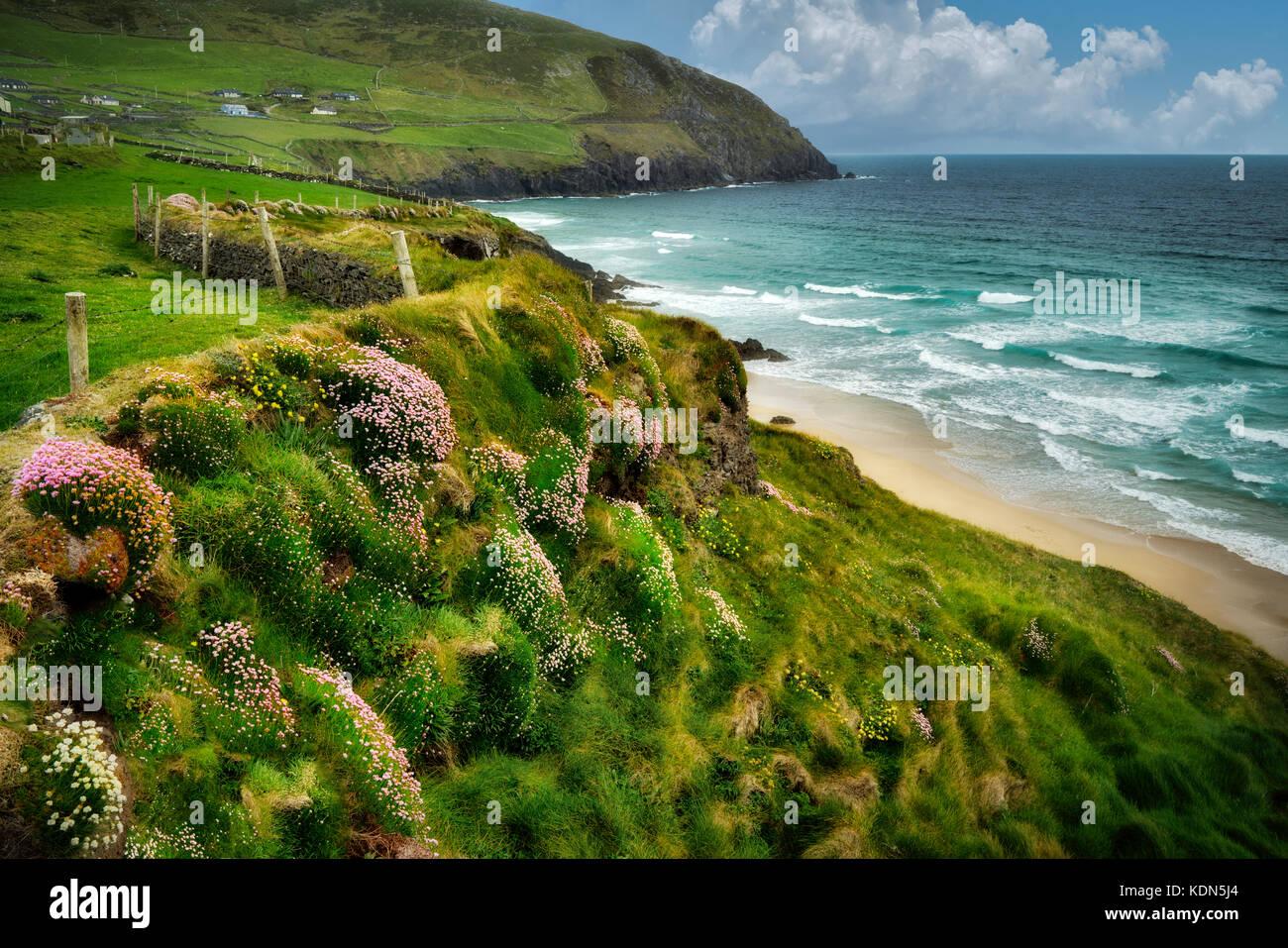 Sea thrift ou roses de la mer ou la mer en fleurs de la côte d'ivoire,sur slea head drive off. Le comté de Kerry, Irlande Banque D'Images