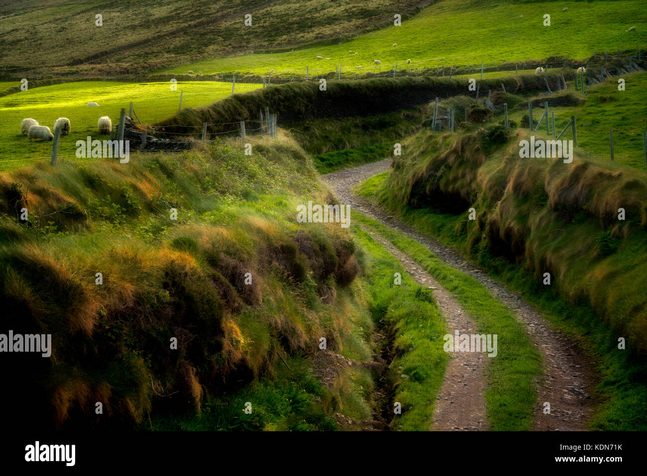 Side Road off de slea head drive. avec des moutons. Le comté de Kerry, Irlande Photo Stock