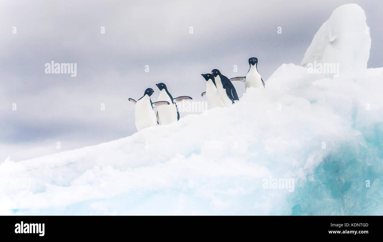 Cinq manchots adélies à enjoué sur un iceberg en Antarctique. Banque D'Images