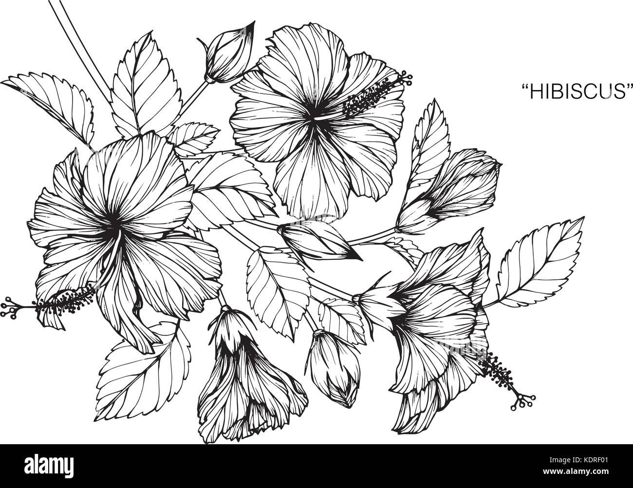 Fleur Dhibiscus Dessin Illustration Noir Et Blanc Avec Des