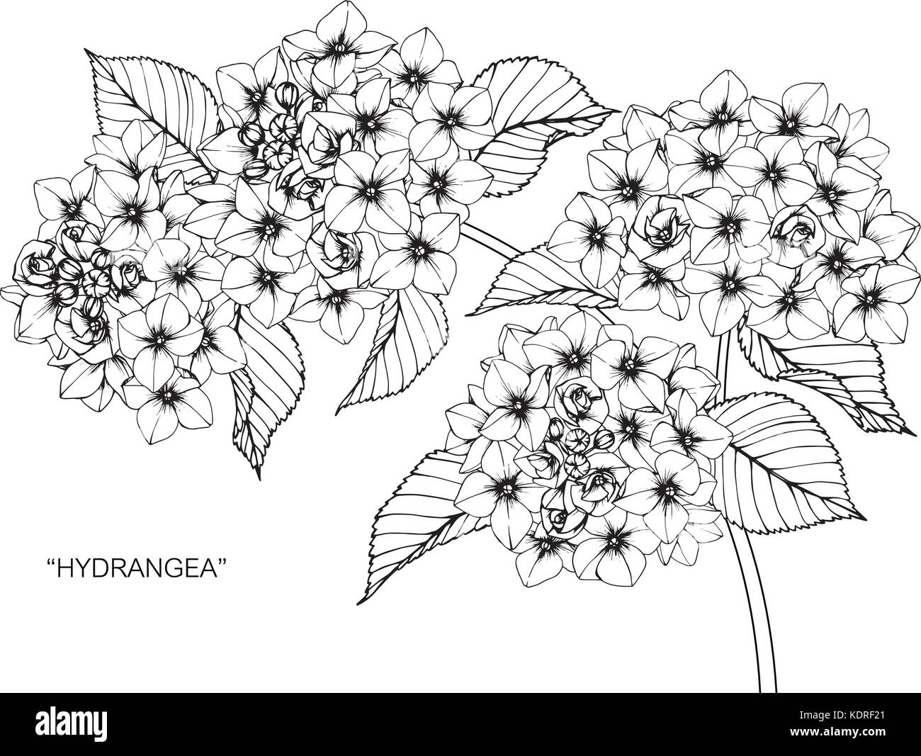 Dessin De Fleurs D Hortensias Illustration Noir Et Blanc Avec Des