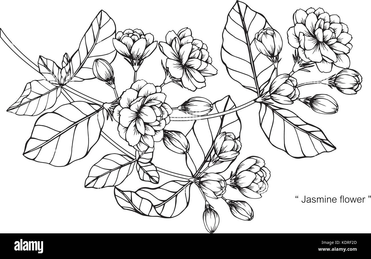 Dessin De Fleurs De Jasmin Illustration Noir Et Blanc Avec