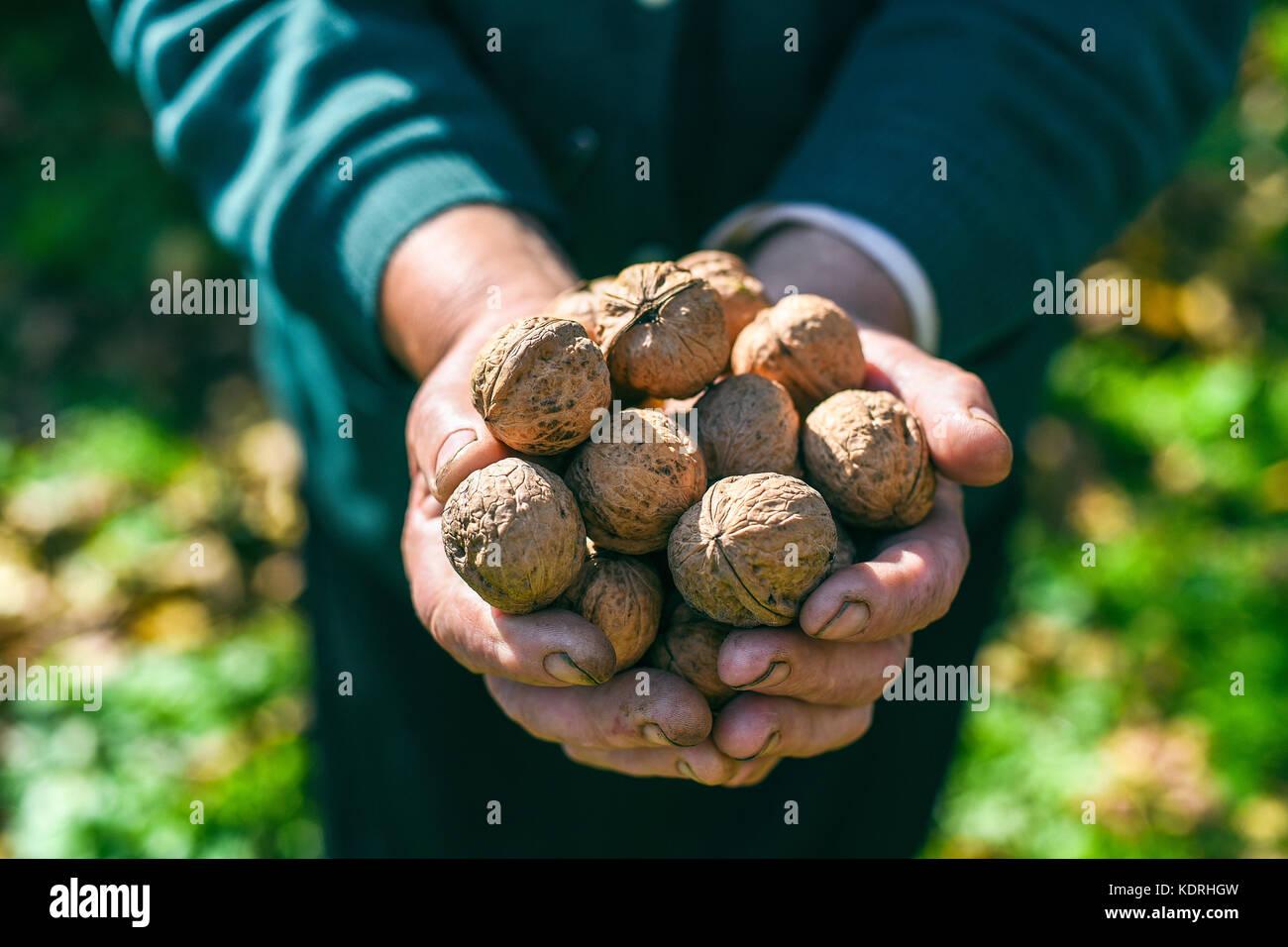 Poignée de noix dans les mains d'une vieille femme, concept, Ukraine Photo Stock