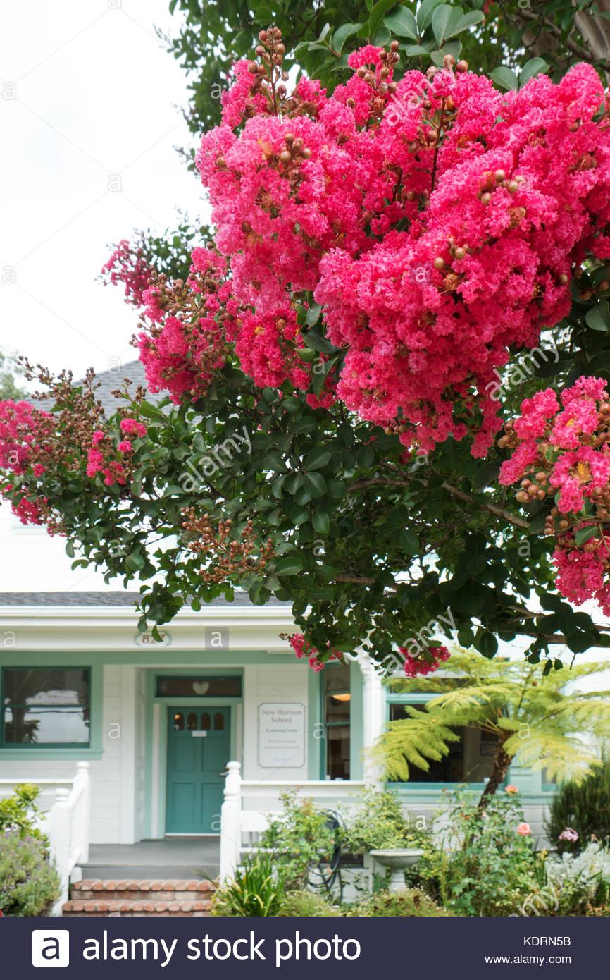 Floraison rouge crêpe myrte orne le Nouvel Horizon School dans un vieux quartier de Santa Rosa, en Californie. Photo Stock