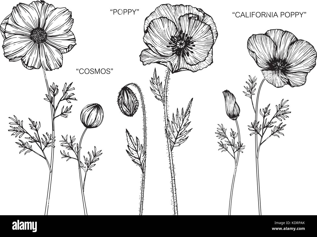 Cosmos Coquelicot Pavot De Californie Illustration Dessin