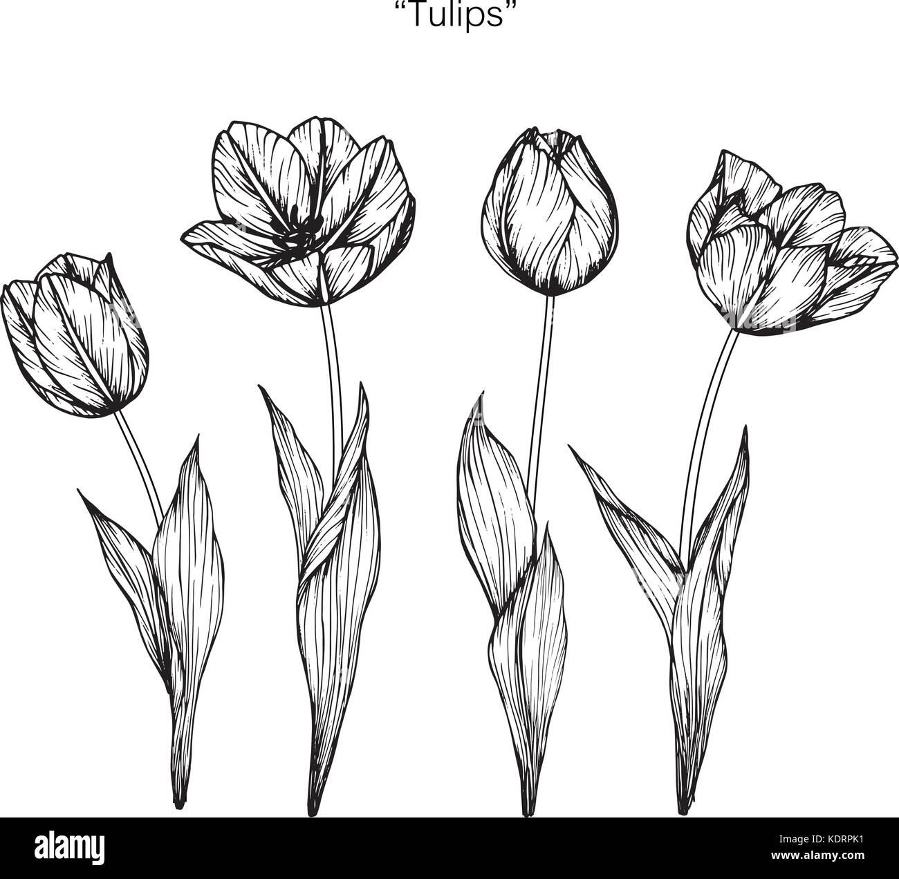 Dessin De Fleurs Tulipes Illustration Noir Et Blanc Avec