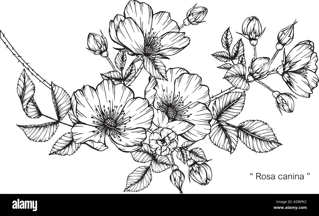 Illustration Dessin De Fleurs Rosa Canina Noir Et Blanc