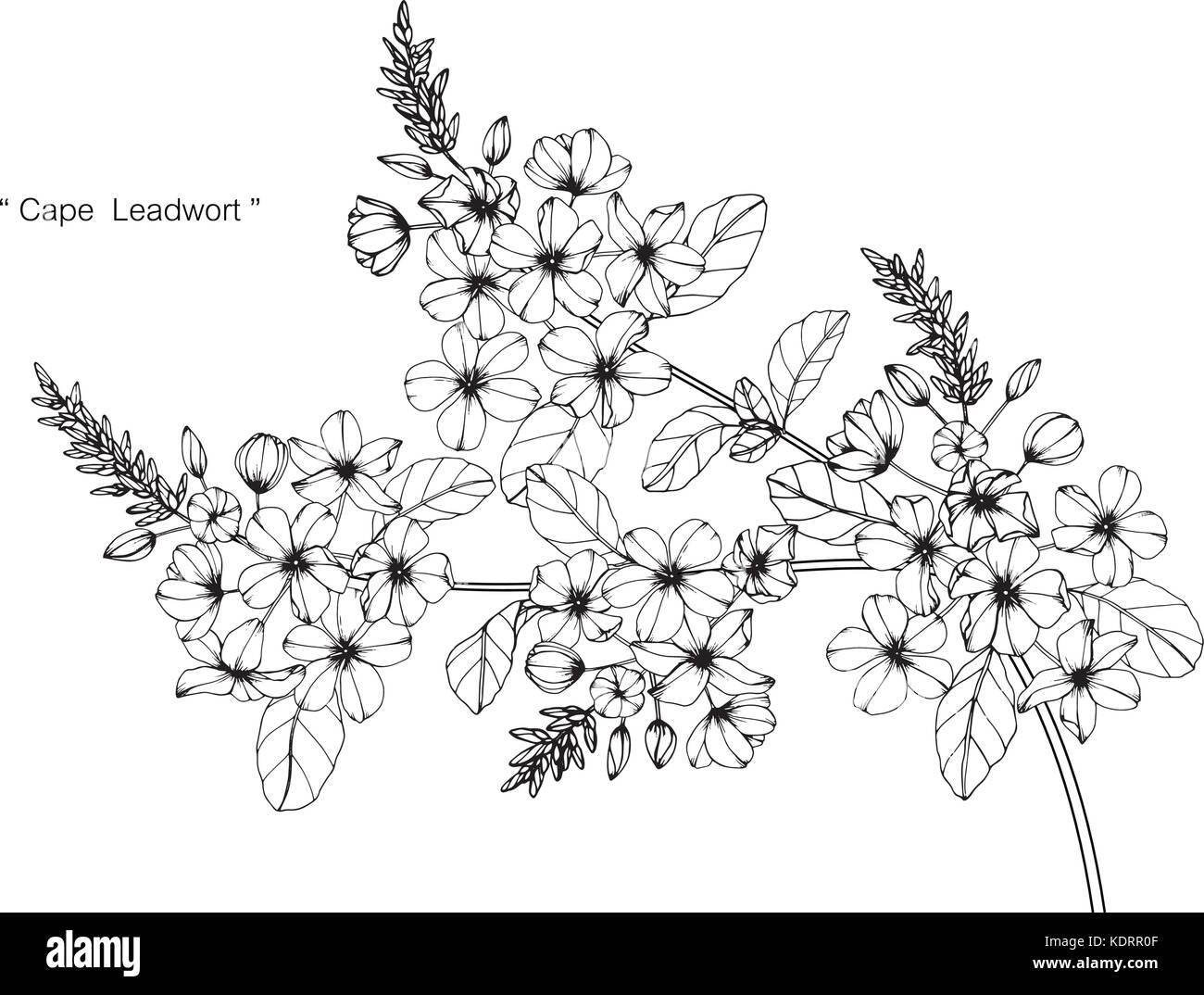 Cape Leadwort Illustration Dessin De Fleurs Noir Et Blanc