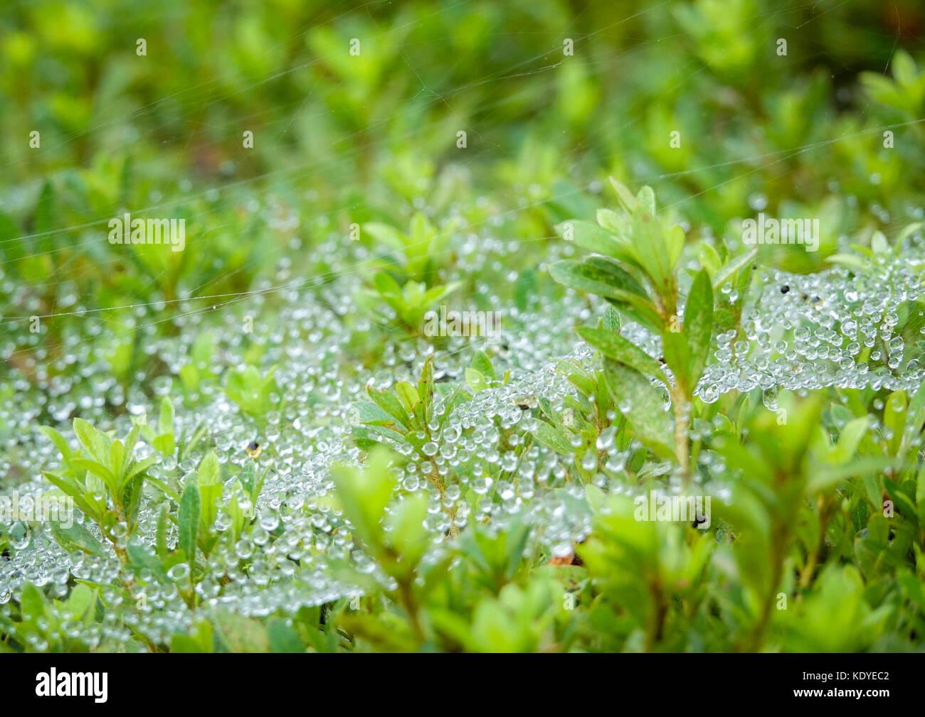 Tôt le matin, la rosée sur l'herbe dans la péninsule d'Izu, Japon Photo Stock