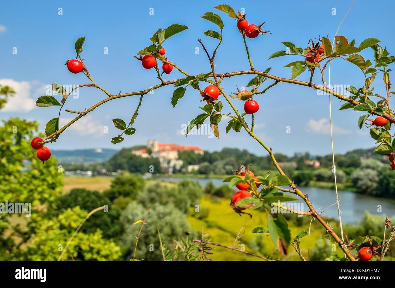 Branches avec rose rouge fleurs sauvages avec de beaux paysage flou en arrière-plan. Banque D'Images