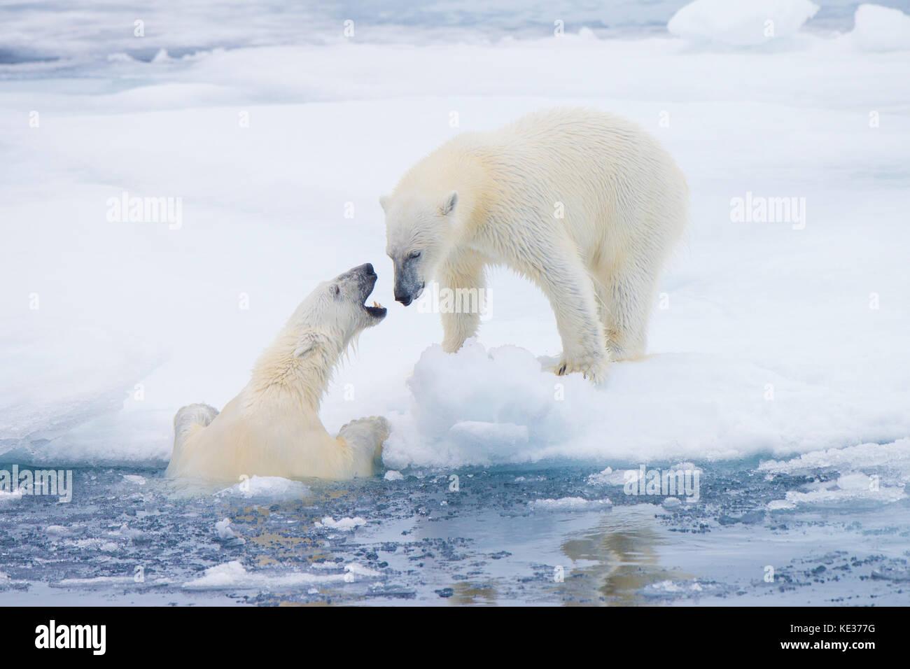 Femelle adulte l'ours blanc (Ursus maritimus) d'interagir sur la glace de mer, l'archipel de Svalbard, Photo Stock