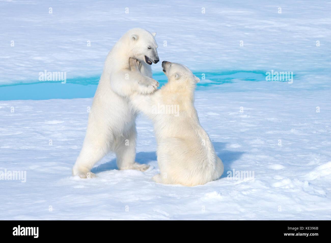 Deux ans d'oursons de l'ours polaire (Ursus maritimus) jouant, archipel du Svalbard, l'Arctique norvégien, Photo Stock
