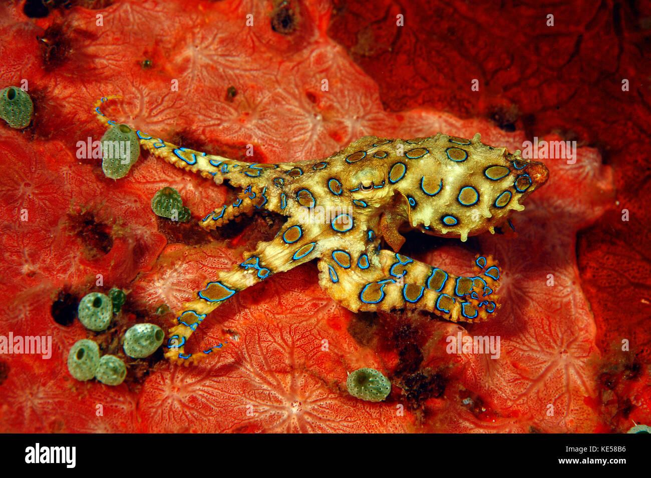 Blue-ringed octopus (hapalochlaena lunulata) sur une éponge rouge robuste avec sea squirt (atriolum robustum), Photo Stock