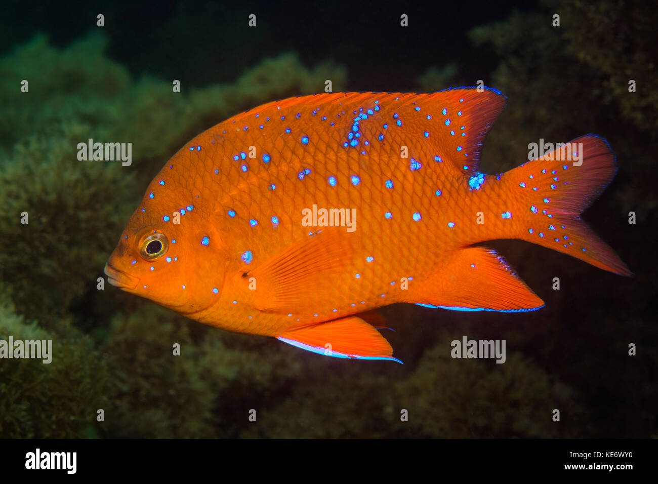 Garibaldi, poisson juvénile hypsypops rubicundus, catalina island, Californie, USA Photo Stock