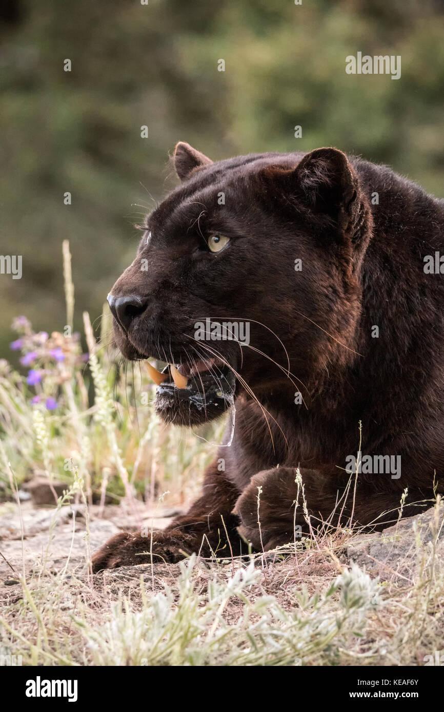 Black Panther haletant sur une journée chaude près de Bozeman, Montana, USA. Une panthère noire dans les Amériques est la variante de couleur melanistic jaguars noirs (Pant Banque D'Images
