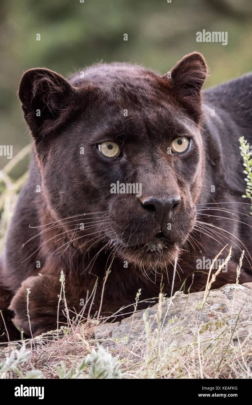 Panthère noire couchée, mais très alerte, près de Bozeman, Montana, USA. Une panthère noire dans les Amériques est la variante de couleur melanistic jaguars noirs Banque D'Images