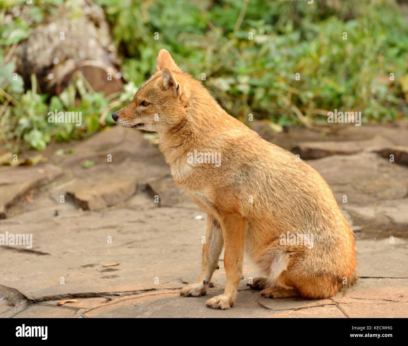 Le chacal doré (Canis aureus) Banque D'Images