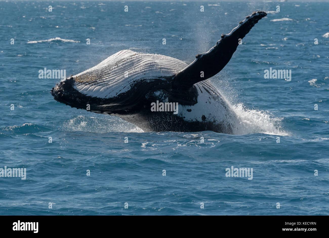 Baleine à bosse (Megaptera novaeangliae) enfreindre à Hervey Bay, Queensland, la capitale de l'observation des baleines en Australie. Banque D'Images