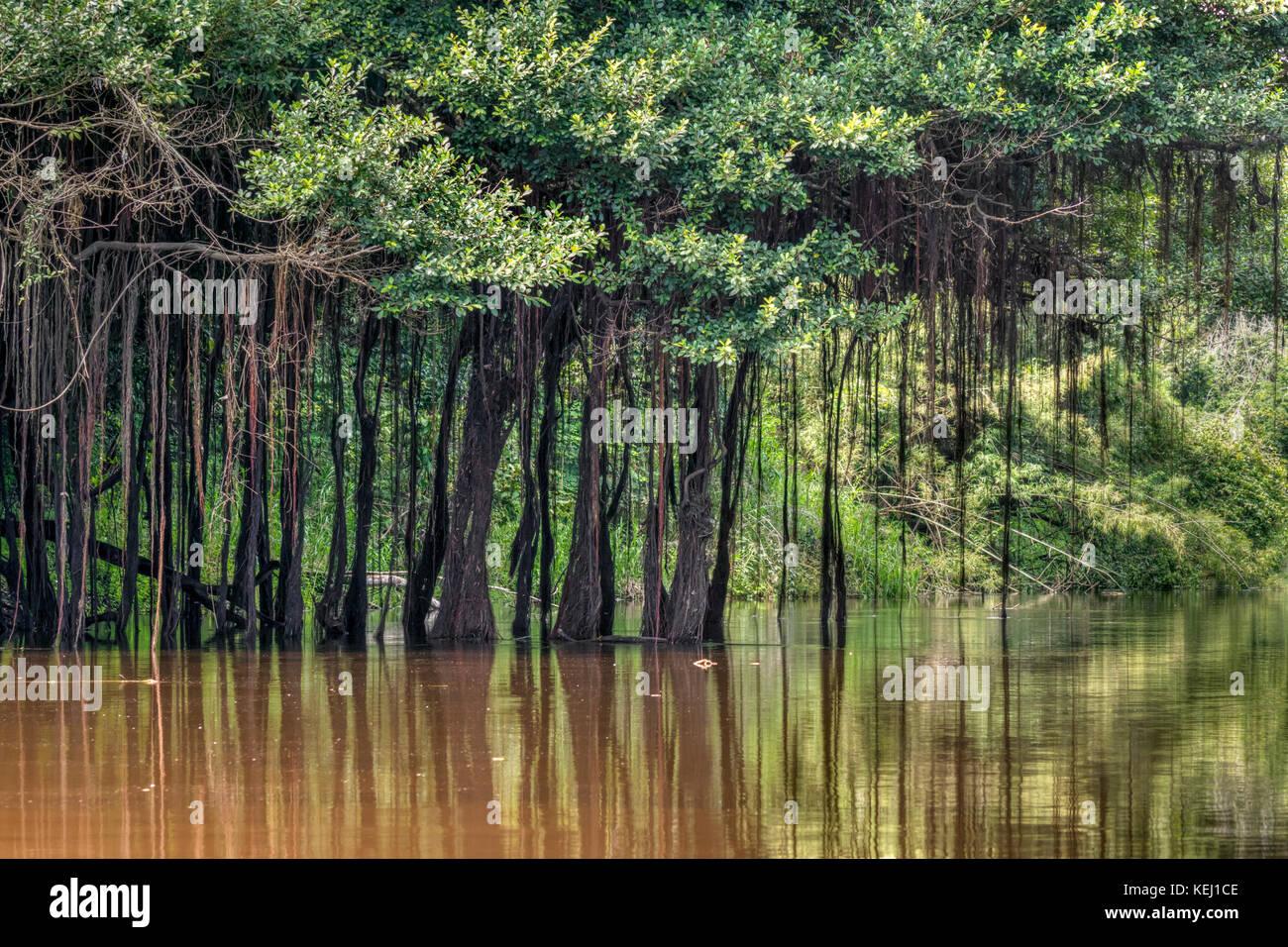 Forêt amazonienne avec des racines aériennes suspendues à des arbres, Réserve nationale de Pacaya Photo Stock