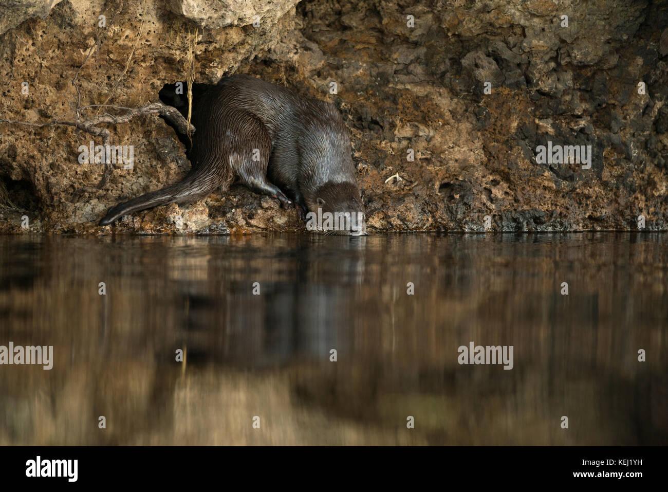 Une loutre néotropicale entrant dans l'eau en Afrique du Pantanal, Brésil Banque D'Images