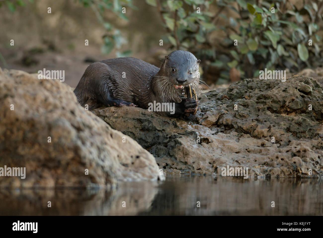 La loutre néotropicale manger un poisson-chat dans Sud Pantanal, Brésil Banque D'Images
