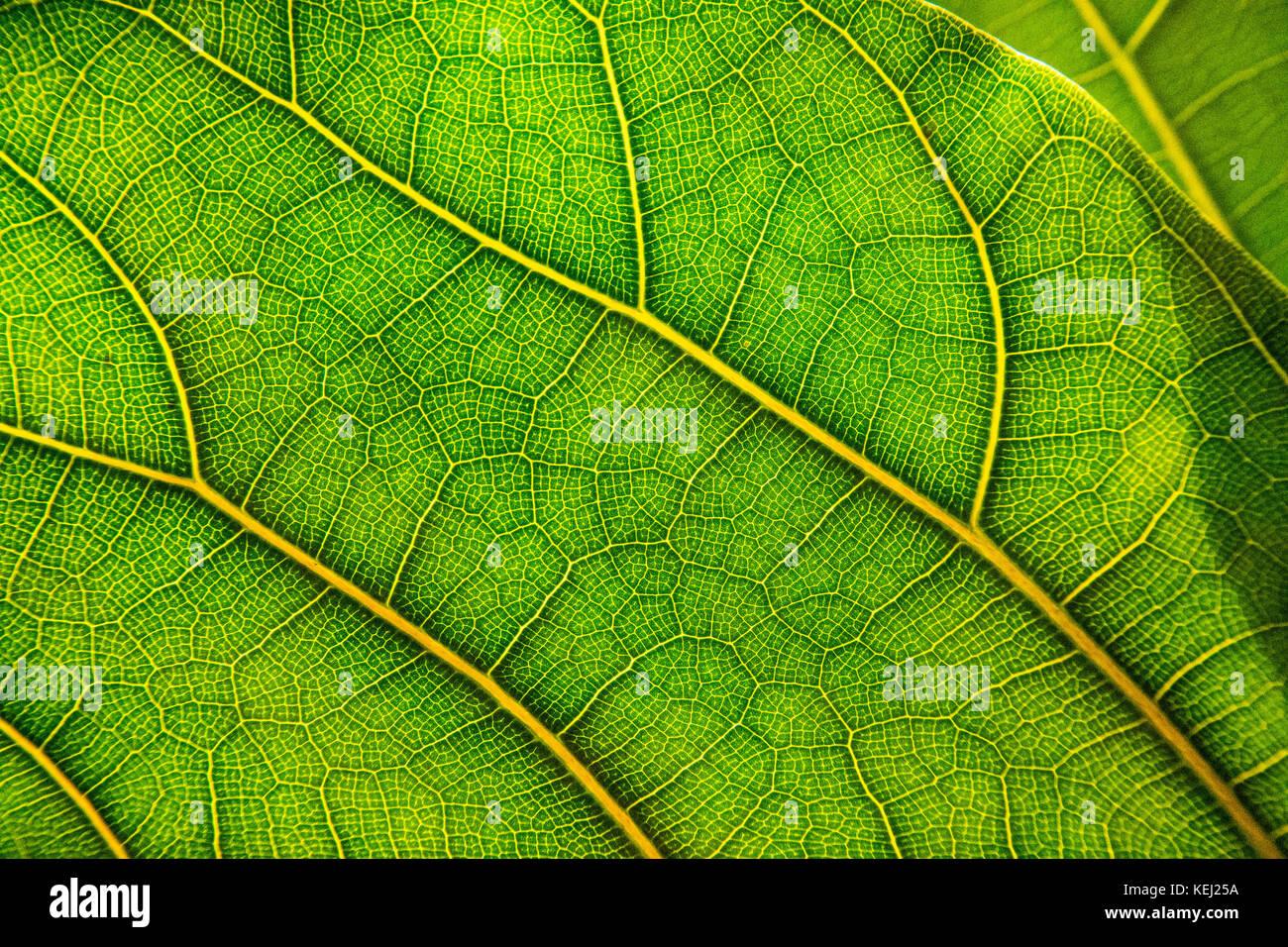 Vert feuille en close-up, montrant des veines. Photo Stock