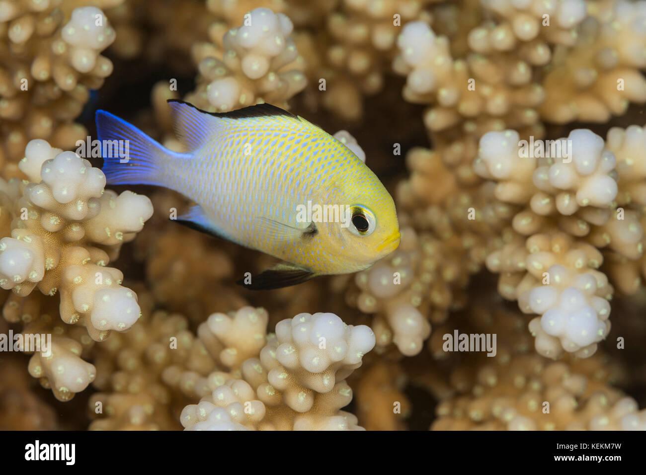 La demi-lune, demoiselle dascyllus marginatus, Marsa Alam, red sea, Egypt Photo Stock