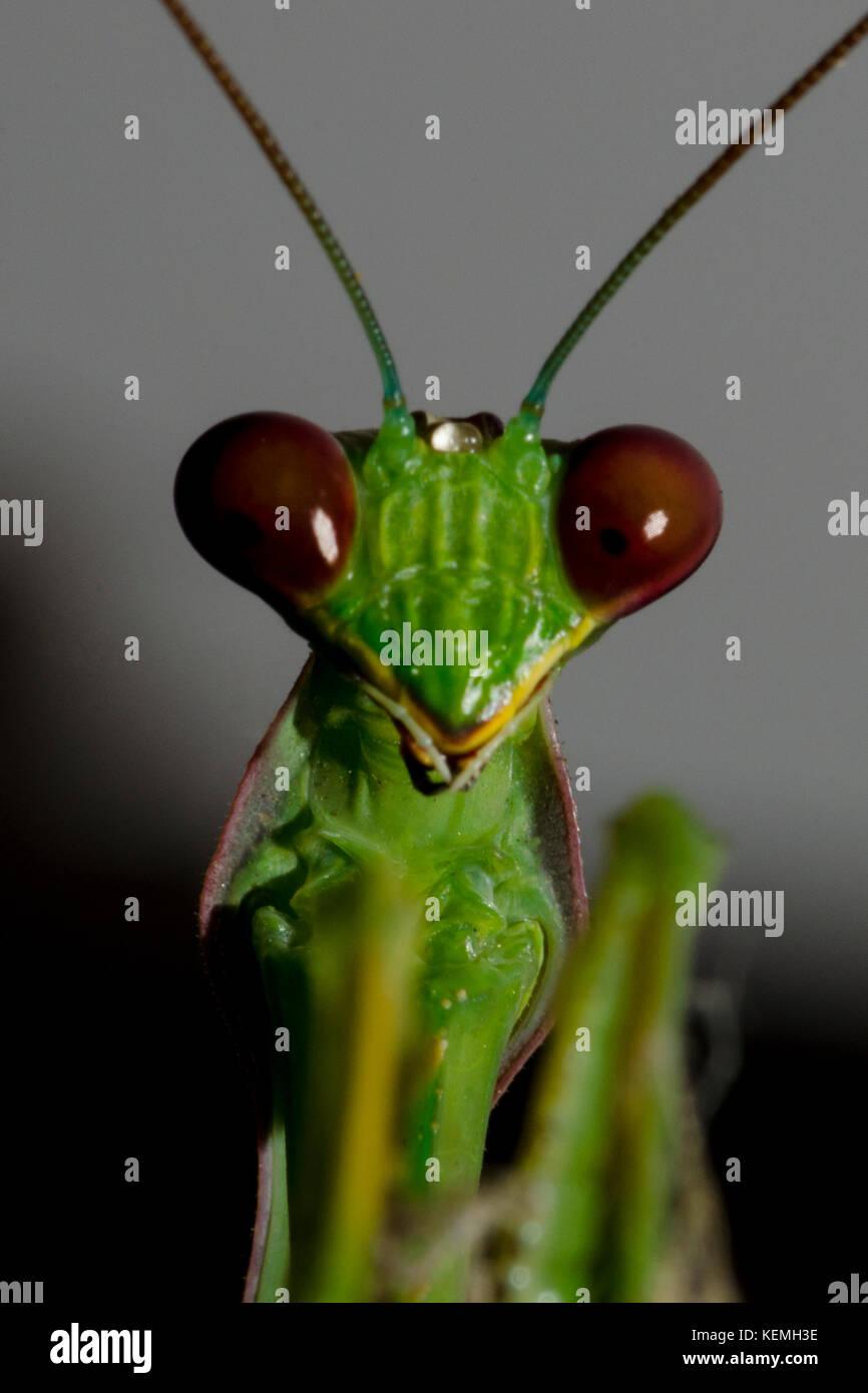 Le Mantis Photo Stock