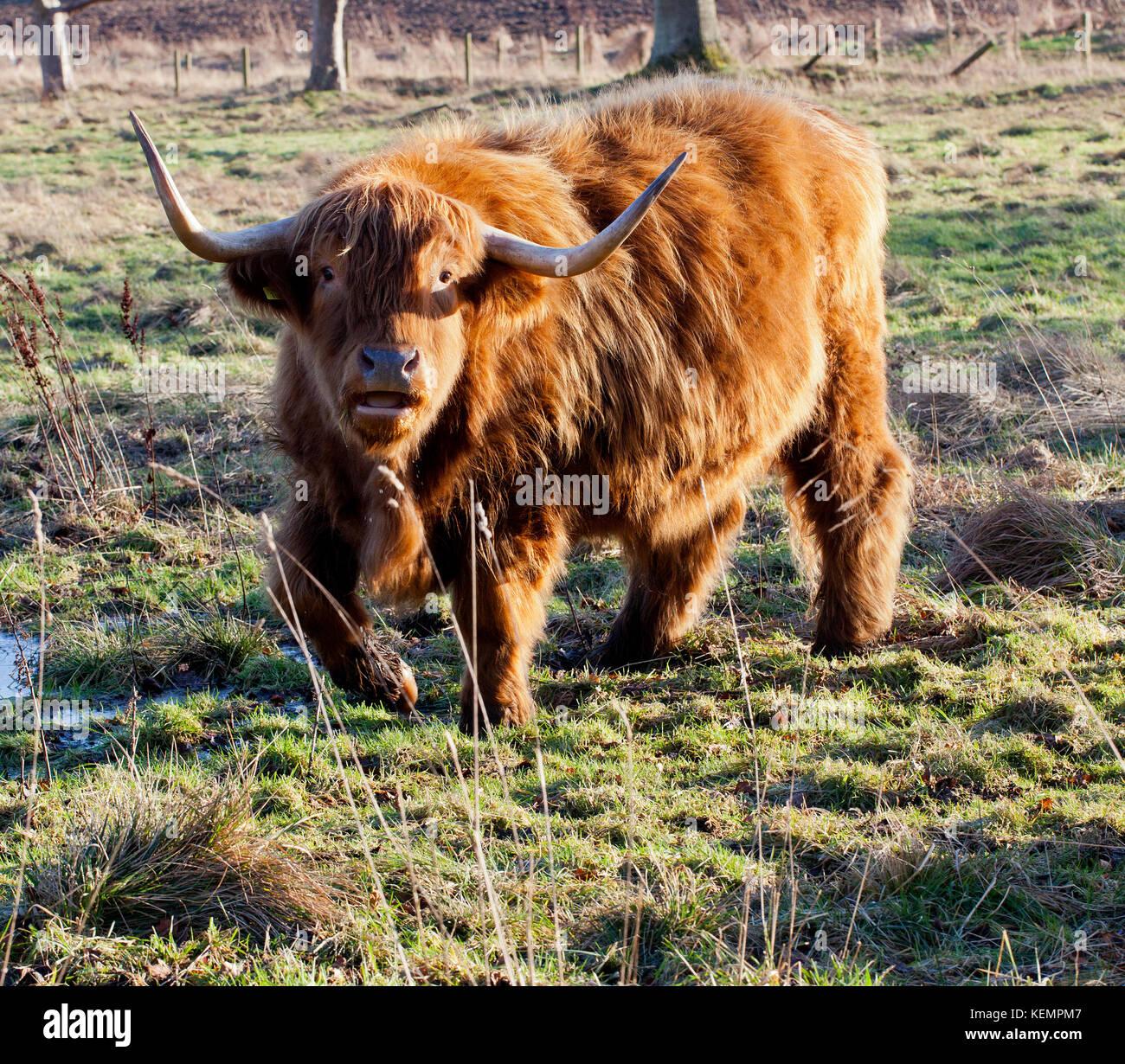 Highland Cow sur le déménagement en Ecosse Photo Stock