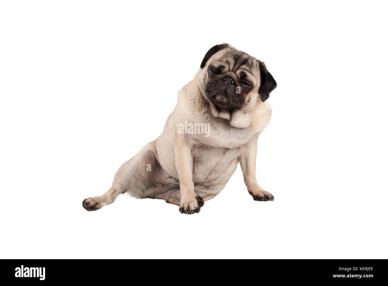 Cool cocky funny puppy dog pug, drôle à s'asseoir avec l'expression du visage, isolé sur Photo Stock