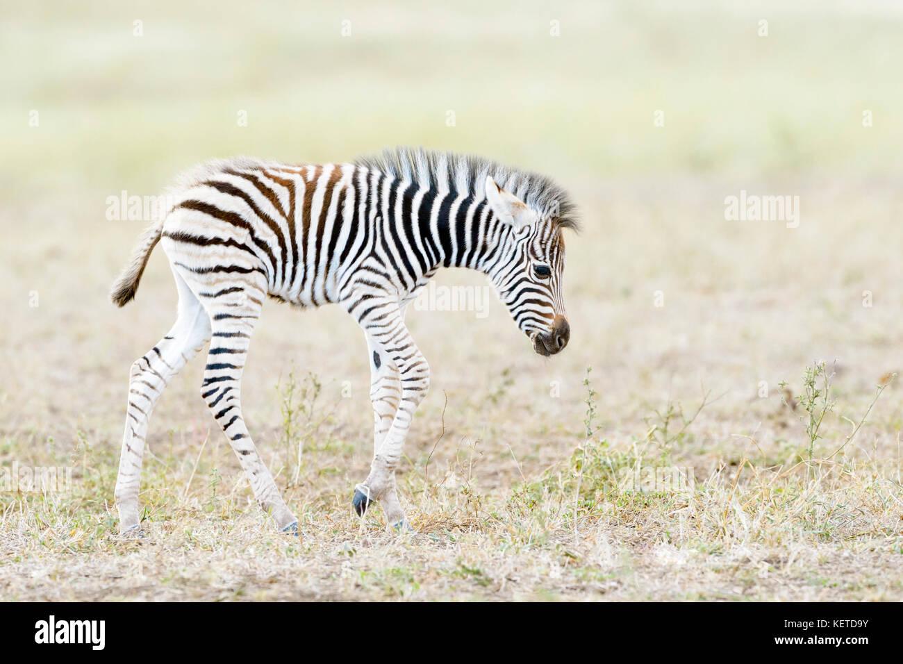 Zèbre des plaines (Equus quagga) poulain marche sur la savane, le parc national Kruger, Afrique du Sud Photo Stock