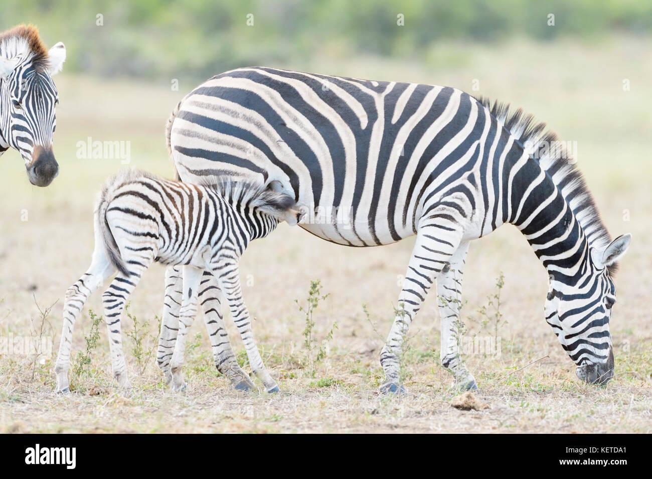 Zèbre des plaines (Equus quagga) poulain de boire avec la mère sur la savane, le parc national Kruger, Photo Stock