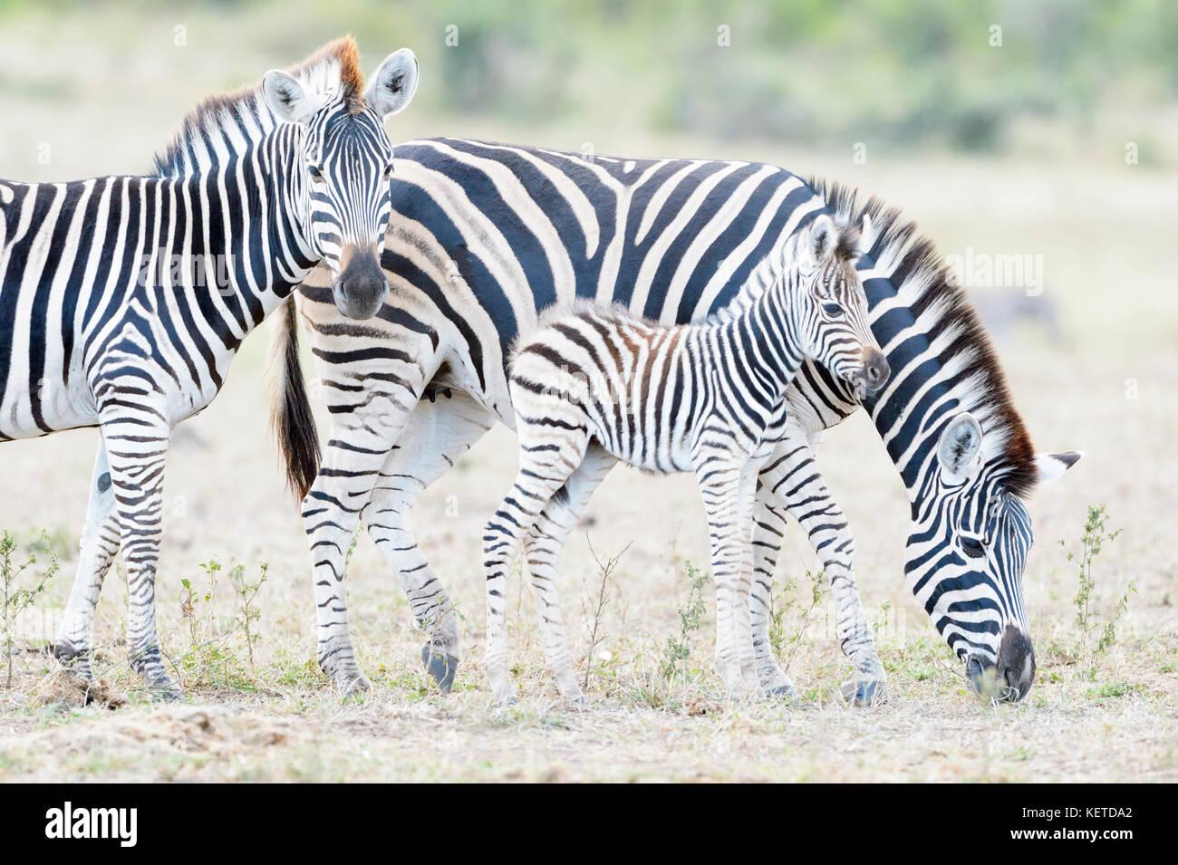 Zèbre des plaines (Equus quagga) la mère et son poulain sur la savane, le parc national Kruger, Afrique Photo Stock