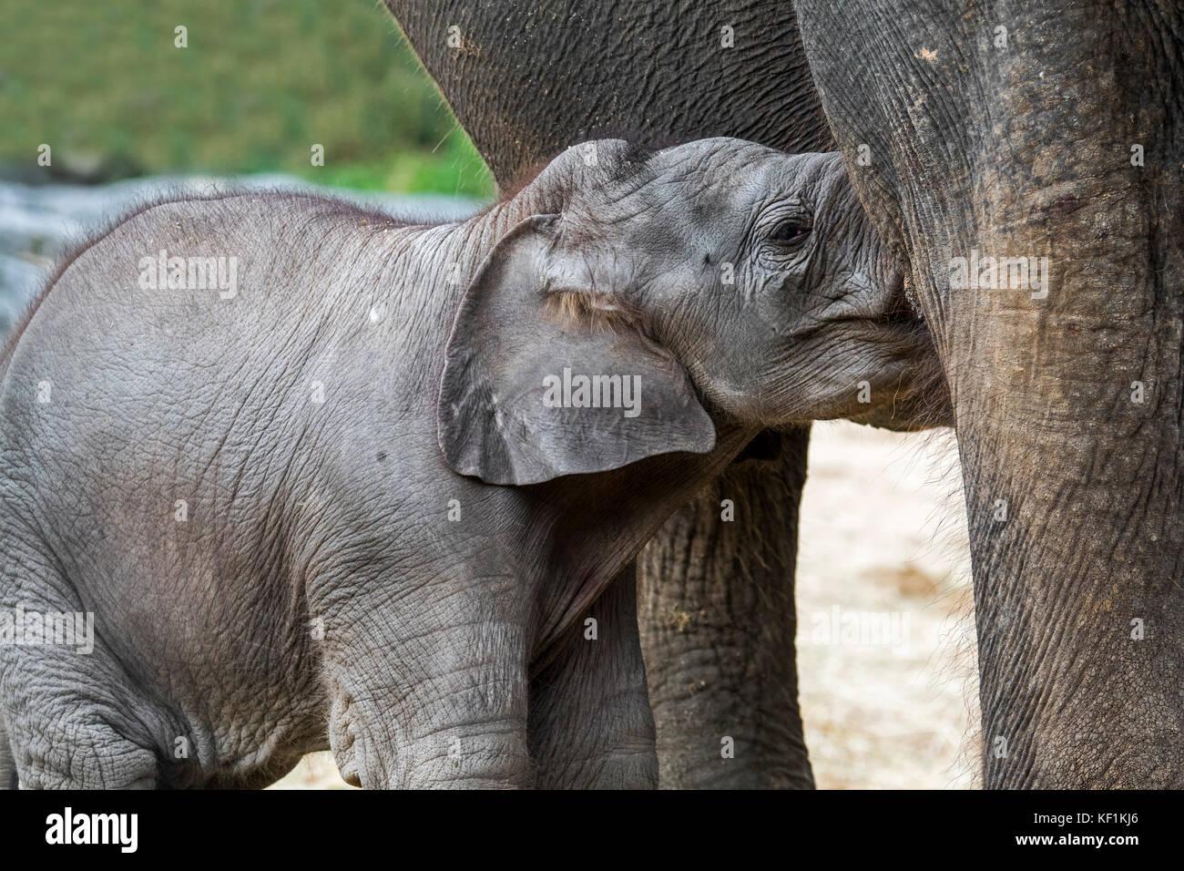 / L'éléphant d'Asie éléphant d'Asie (Elephas maximus) femme / Soins infirmiers vache Photo Stock