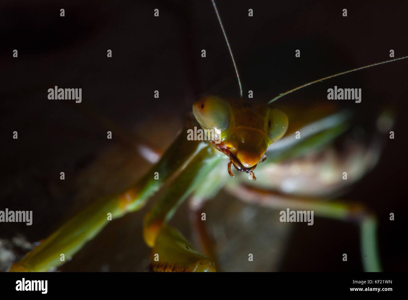 Le Mantis, macrophotographie vert commun ou prier mante mantis isolé sur fond noir. Photo Stock