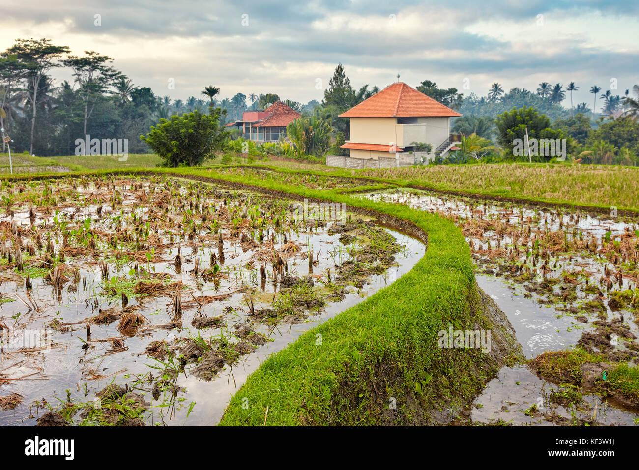 Les rizières le long de la crête de campuhan. à pied d'Ubud, Bali, Indonésie. Photo Stock