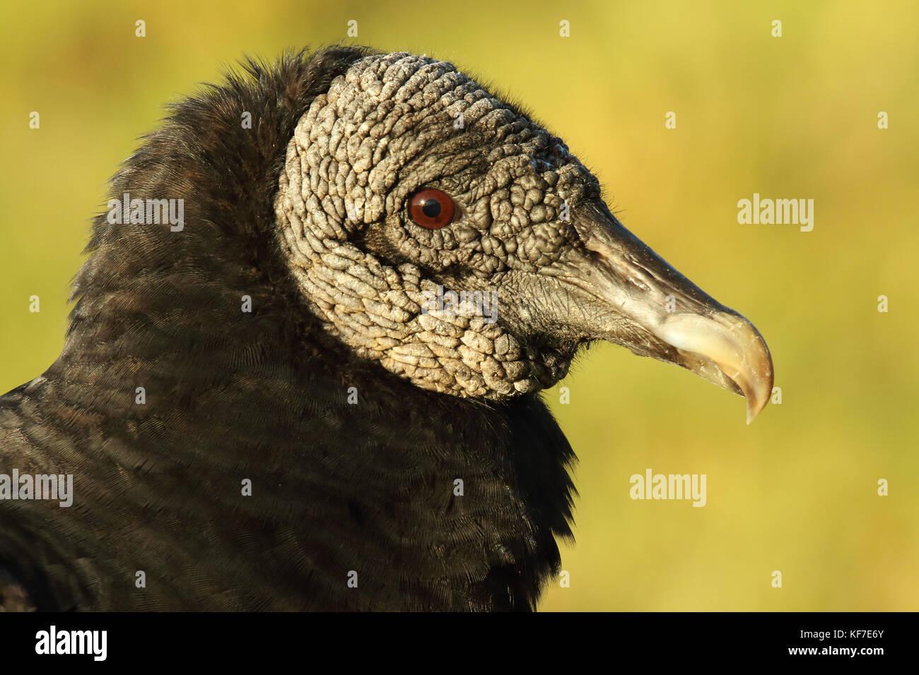 Un portrait d'un vautour noir dans les Everglades de Floride. Photo Stock