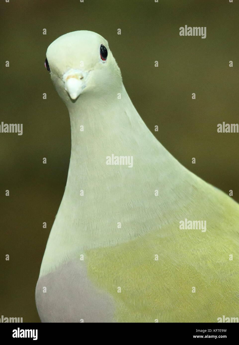 Le portrait d'une bruce's green pigeon de peering. Photo Stock